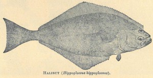 Pacific Halibut are now recognized as hippoglossus stenolepis, but in 1899 were considered the same as Atlantic Halibut. Moser, Jefferson. The Salmon and Salmon Fisheries in Alaska. Bulletin of the United States Fish Commission for 1898, Washington: GPO, 1899.